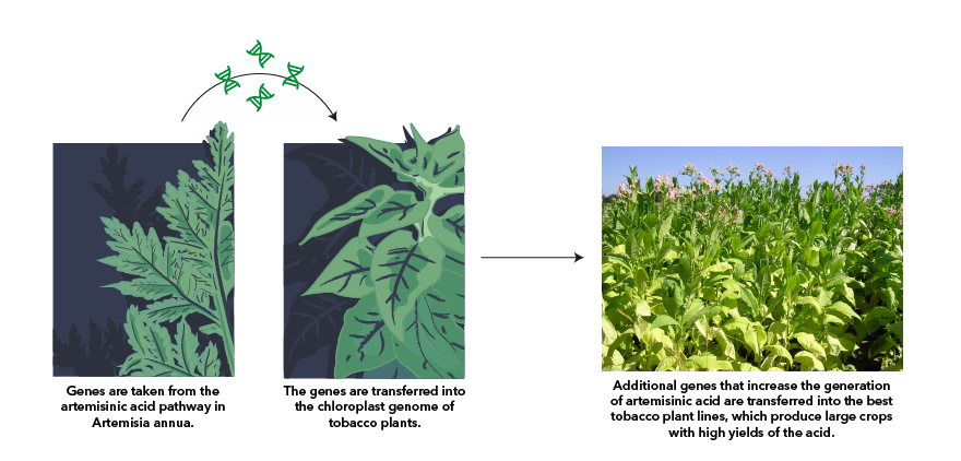 New methods in plant biotechnology could allow an inexpensive mass-production of a malaria drug. Transfering genes from Artemisisa annua to tobacco leads to a high-yielding production of the naturally occuring artemisinic acid.