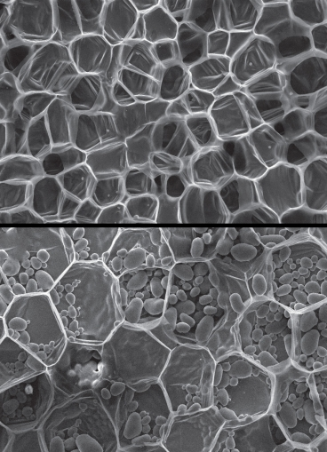 """A scanning electron micrograph of carrot, top, and potato, bottom, showing relatively <br />thin-walled cells. The oval objects within the potato tissue are starch granules.<br />Images: Don Galler""""></td> </tr> <tr> <td style="""